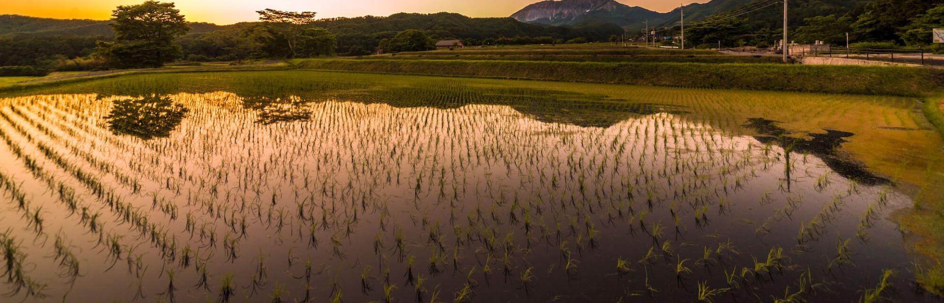 View of a rice paddy at dusk.