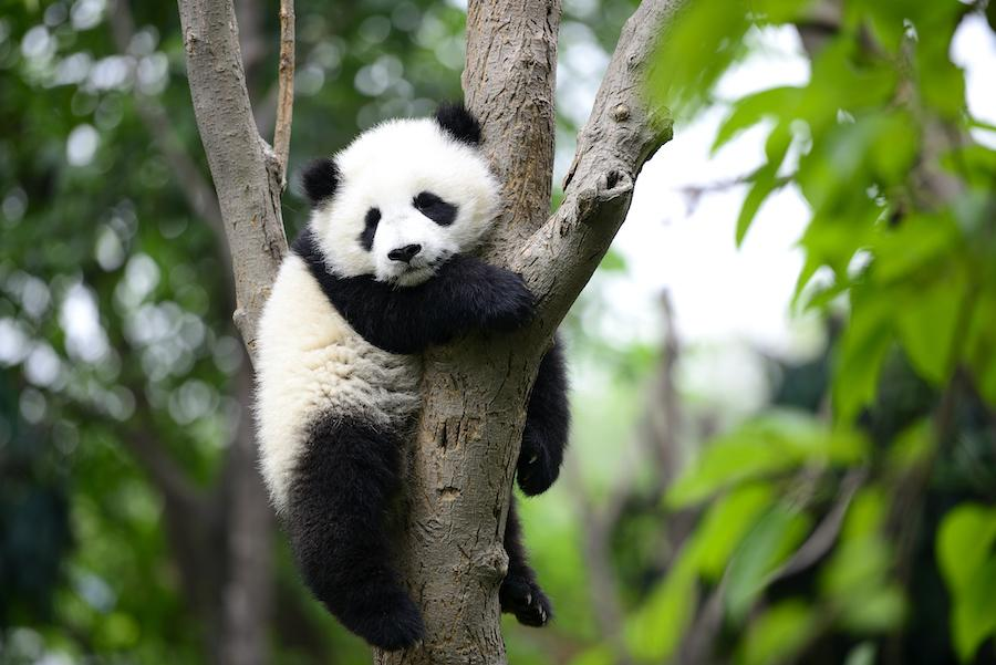 A giant panda cub resting on a tree.